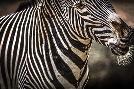 Duncan Zebra