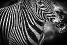 Duncan Zebra Black & White