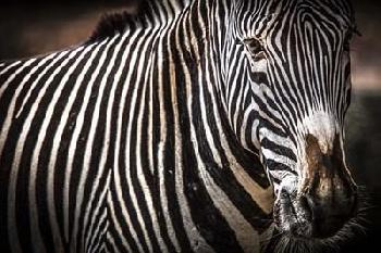 Duncan Zebra II Canvas
