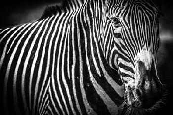 Duncan Zebra II Black & White Canvas