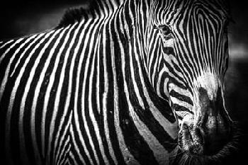 Duncan Zebra II Black & White Canvas
