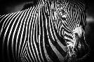Duncan Zebra II Black & White