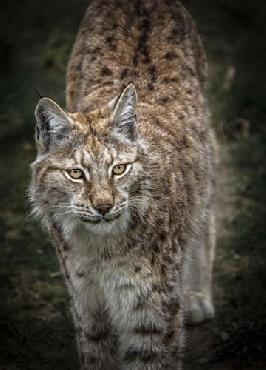 Duncan Young Lynx Looking Up Canvas
