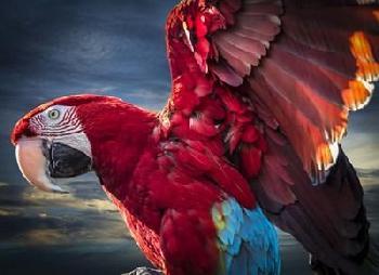 Duncan Ara Wings Canvas