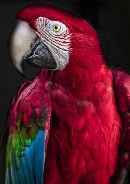 Duncan Ara Parrot Canvas