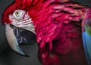 Duncan Ara Parrot Close Up II Canvas