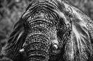 Duncan Elephant Front Black & White