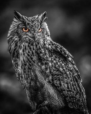 Duncan Wise Owl 2  Black & White