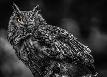 Duncan Wise Owl 3 Black & White