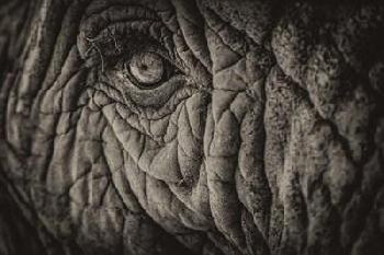 Duncan Elephant Close Up II Sepia Canvas