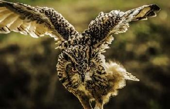 Duncan Wise Owl 4