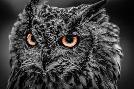 Duncan Wise Owl 5 Black & White