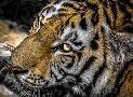 Duncan Tiger Eyes