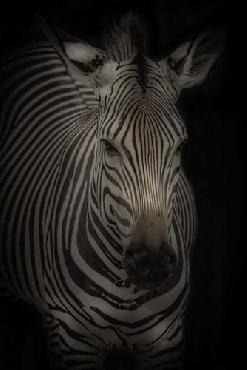 Duncan Zebra 3 Canvas