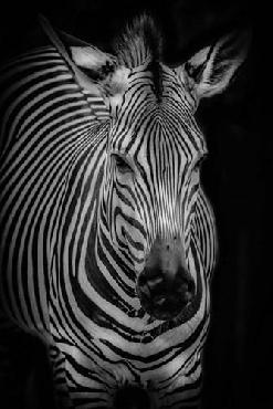 Duncan Zebra 3 Black & White Canvas