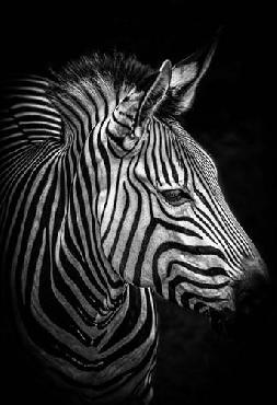 Duncan Zebra 4 Black & White Canvas