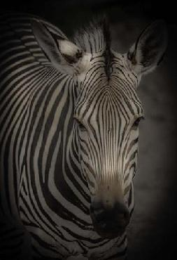 Duncan Zebra 5 Canvas