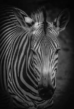 Duncan Zebra 5 Black & White Canvas