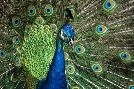 Duncan Peacock Showing Off Close Up III