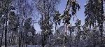 Duncan Snow Trees