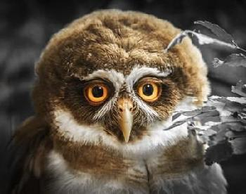 Duncan Young Owl Canvas