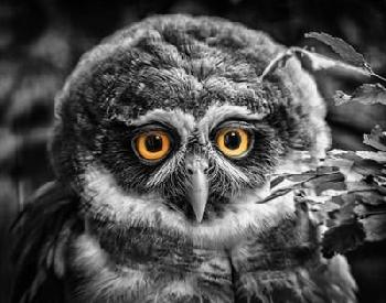 Duncan Young Owl Black & White Canvas