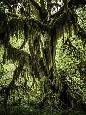 Duncan Mossy Tree