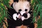 Anonymous Panda Mother And Baby