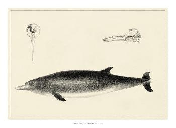 Anonymous Antique Dolphin Study I Open Edition Giclee - Matte