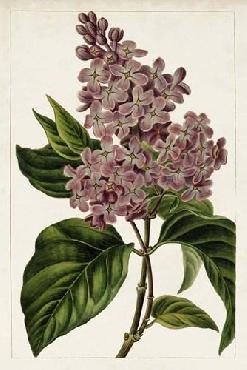 Anonymous Mauve Botanicals IV Open Edition Giclee - Matte