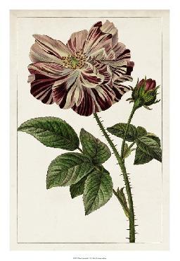 Anonymous Mauve Botanicals V Giclee Canvas