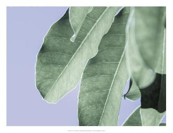 Eva Bane Clear Leaves On Blue II Open Edition Giclee - Matte