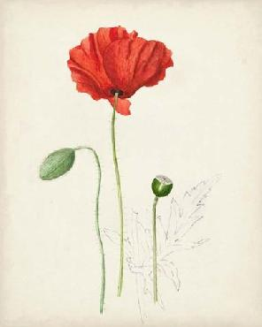 Anonymous Watercolor Botanical Sketches Ix Open Edition Giclee - Matte