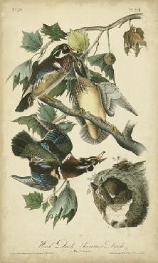 John James Audubon Wood Duck Open Edition Giclee
