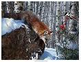 Kevin Daniel Fox In Winter