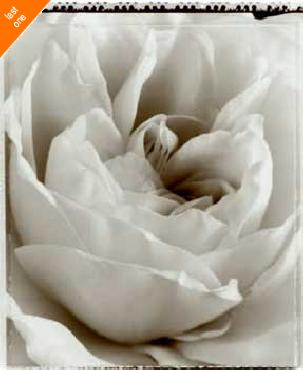 Alan Majchrowicz Delicate Rose Canvas LAST ONES IN INVENTORY!!
