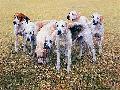 Gary Stinton Seven V.W.H. Foxhounds