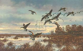 David Maass Coming In, Canada Geese Gouttelette