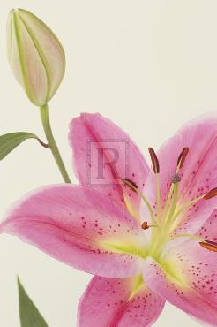 Irene Suchocki Lily Mist Giclee Canvas