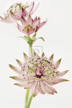 Irene Suchocki Astrantia Spray Giclee Canvas