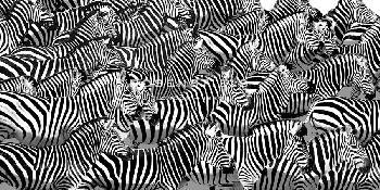 Mark Chandon Zebra Collage Giclee