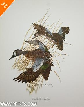 Charles Murphy Blue Winged Teal  -  Anas Discors NO LONGER IN PRINT - LAST ONES!!