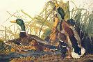 John James Audubon Mallard Duck
