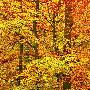 Frank Krahmer Triptych  -  Beech Forest In Autumn, Kassel, Germany  -
