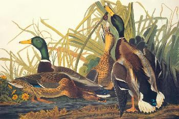 John James Audubon Mallard Duck Giclee on Canvas