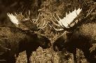 Michael Quinton Alaska Moose Males Confronting Each Other In The Fall,