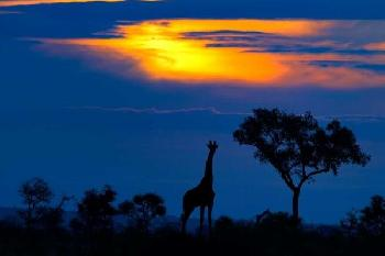 Mario Moreno A Giraffe At Sunset Giclee on Canvas