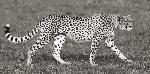Pangea Images Cheetah Hunting, Masai Mara