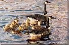 John Aldrich Canadian Armada - Geese