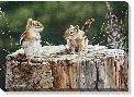 Neal Anderson Chipmunks